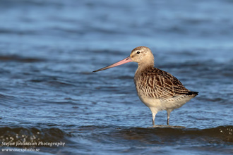 Myrspov / Bar-tailed Godwit