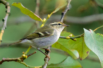 Taigasångare / Yellow-browed Warbler