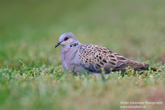 Turturduva / Turtle Dove